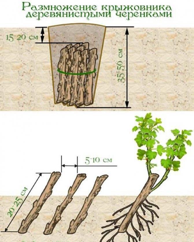 Как размножить крыжовник весной, летом и осенью: отводками, черенками и делением куста