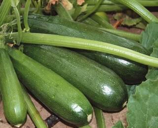 Кабачки - полезные свойства, пищевая ценность, хранение
