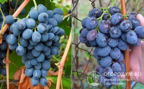 Виноград кодрянка: характеристика сорта, посадка и уход + фото