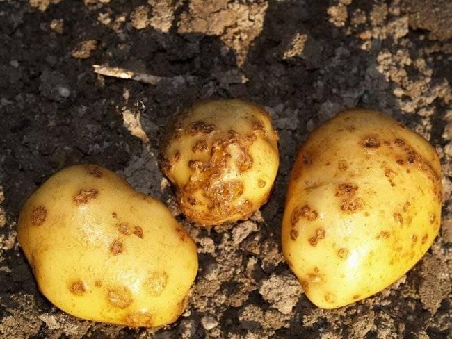 Болезни картофеля. как их избежать и как от них избавиться?