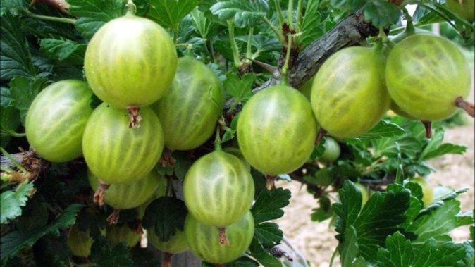 Белый налет на крыжовнике: болезни и их лечение. чем обработать от налета на ягодах, листьях и ветках? народные и другие средства