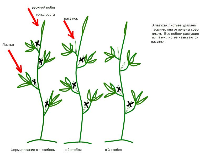 Как формировать помидоры в теплице правильно: схема куста и стебля, фото и видео