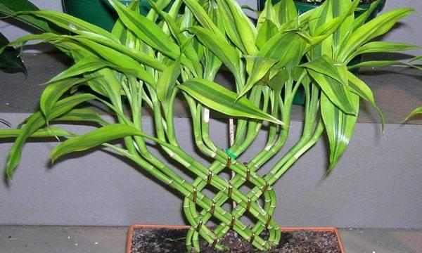 Бамбуковая драцена – сандера