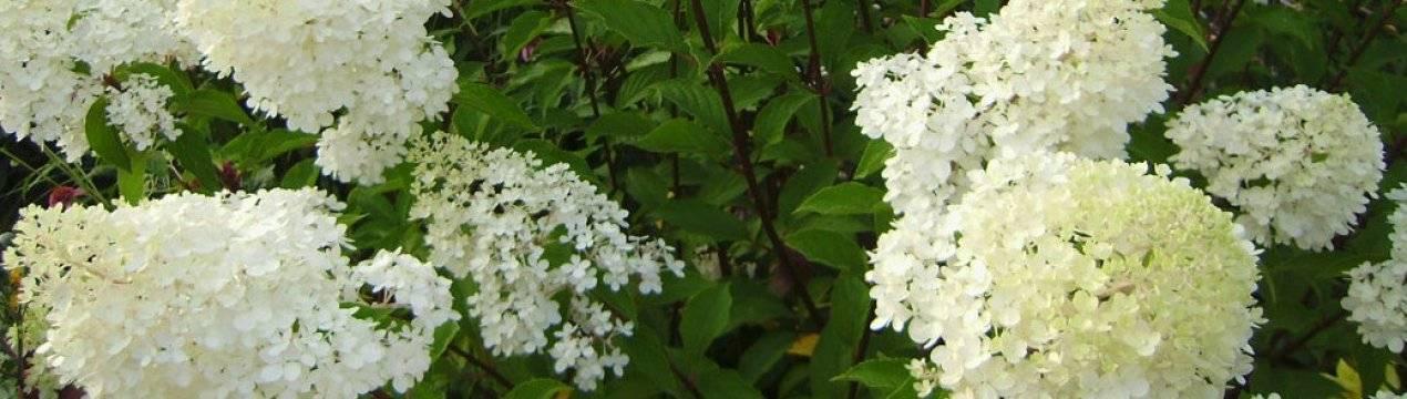 Гортензия фантом в дизайне сада: особенности посадки и выращивания