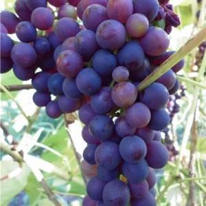Сорт винограда северный плечистик: что нужно знать о нем, описание сорта, отзывы
