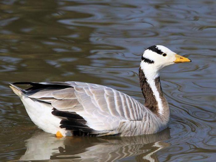 Разновидности диких гусей