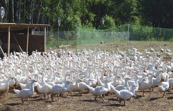 Личный опыт содержания и разведения домашних гусей