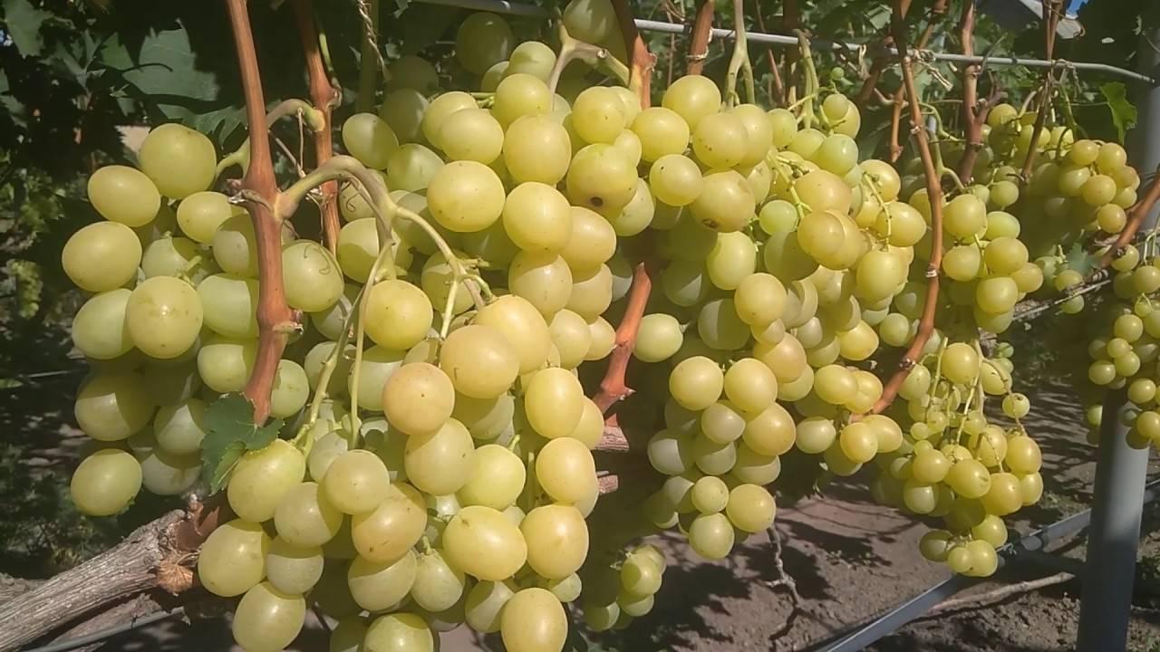 Как выращивать виноград Спонсор