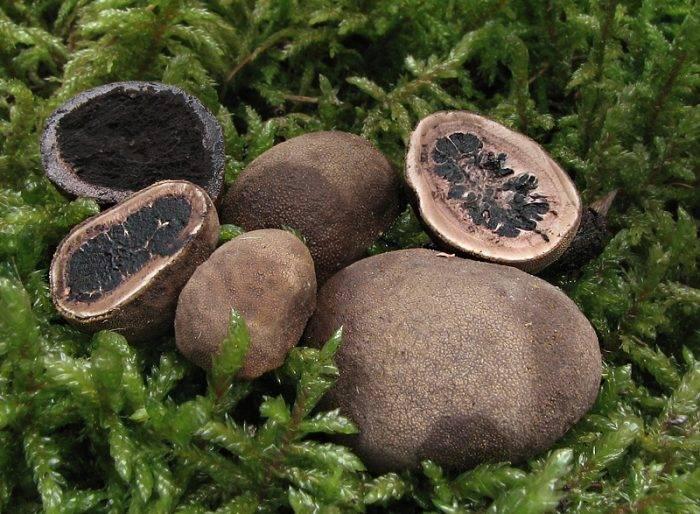 Знакомьтесь, «король грибов» — черный трюфель!