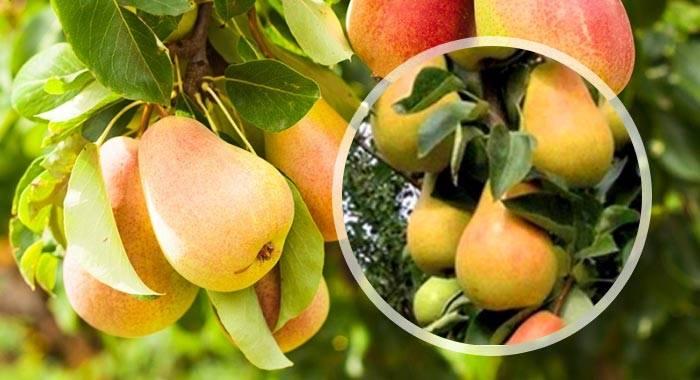 Сорт груши любимица клаппа, описание, характеристика и отзывы, особенности выращивания