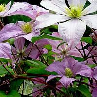 Описание сортов клематиса, фото цветков для подмосковья