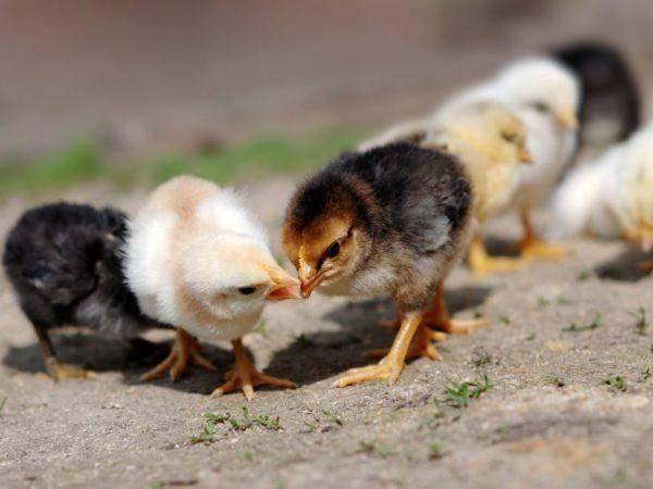 Расклев у цыплят: причины и способы борьбы с ним