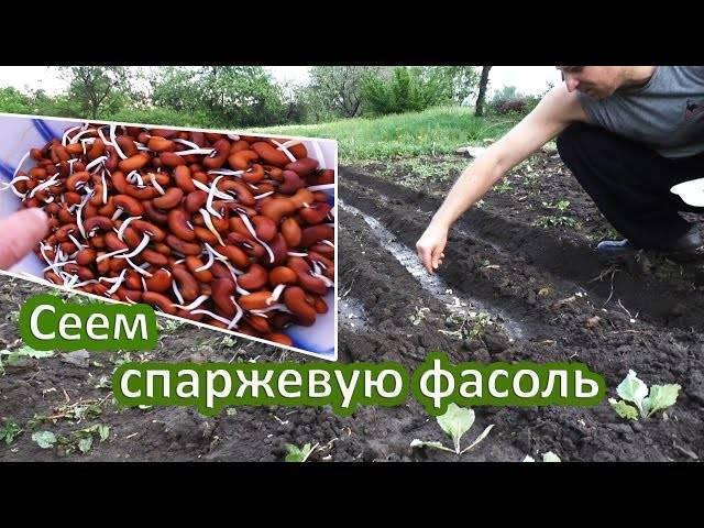 Как правильно посадить стручковую фасоль в открытый грунт?