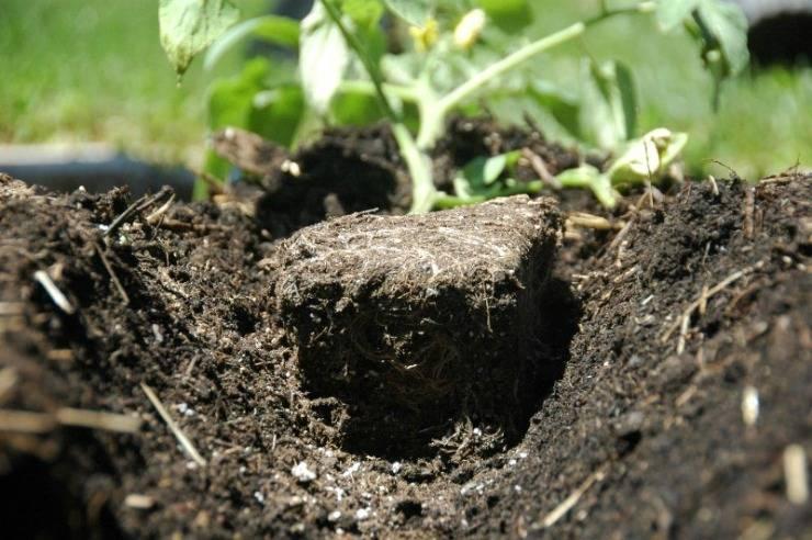 Глубокая посадка помидоров поможет со слабой рассадой – ставка на «случайные» корни!