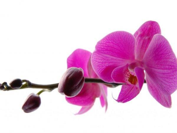 Почему у орхидеи опадают бутоны и ещё нераспустившиеся цветы?