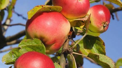 Медовая яблоня сладкая нега: описание, фото, отзывы