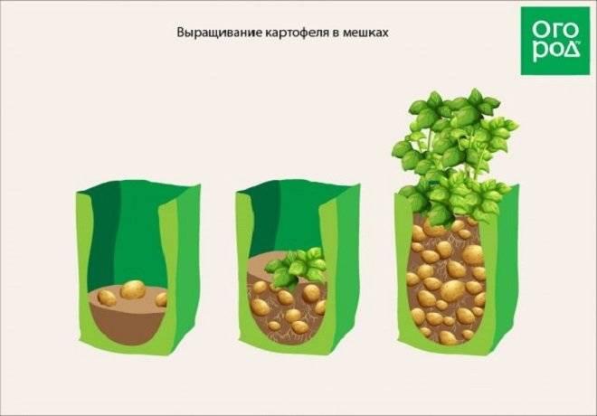 Как правильно сажать картошку чтобы получить хороший урожай: советы и рекомендации