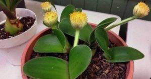 Гемантус haemanthus - описание, уход в домашних условиях, виды, фото, секреты выращивания