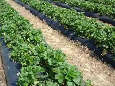 Как правильно посадить клубнику осенью: секреты хорошего урожая