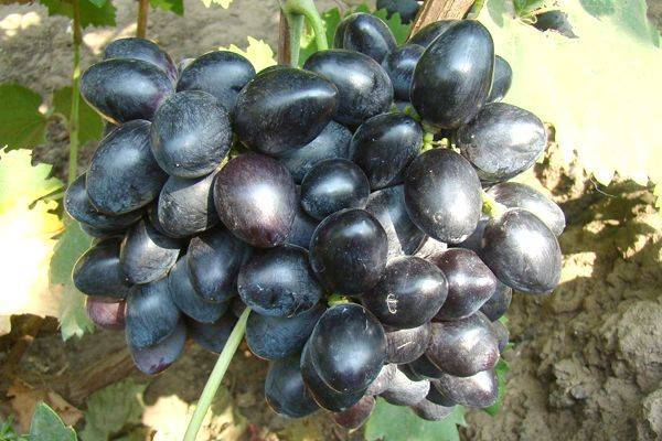 Сорт винограда велика: описание, фото