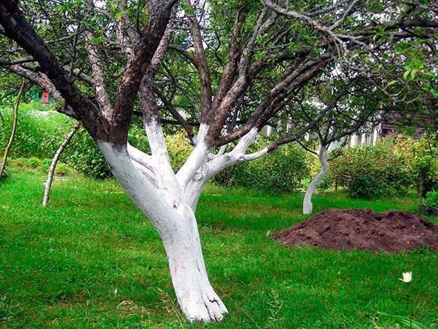 Побелка деревьев весной — обработка плодовых деревьев от вредителей - pocvetam.ru