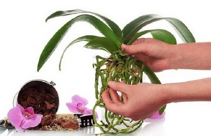 Тля на орхидеях – как бороться в домашних условиях