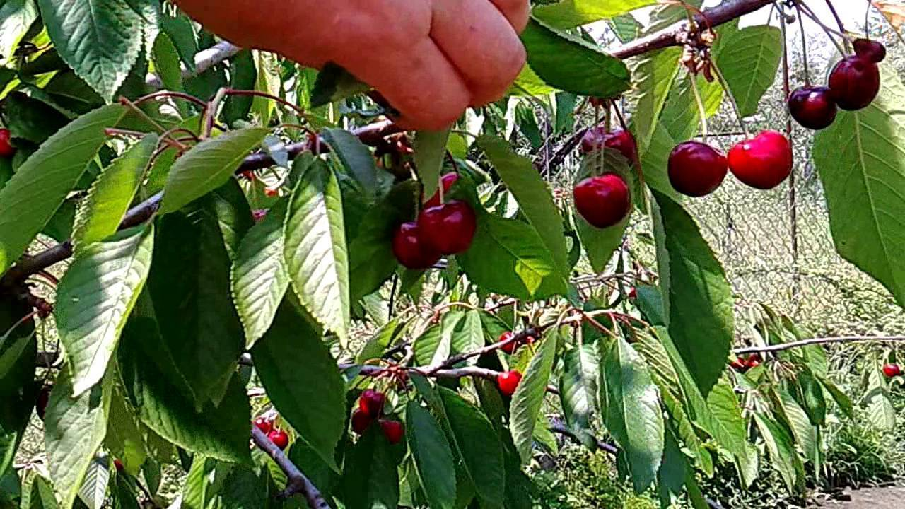 Вишня чудо: характеристика и особенности выращивания