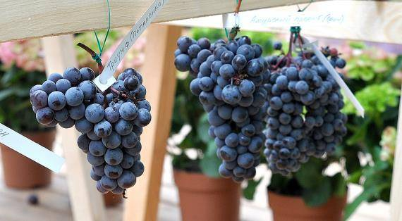 Виноград мариновский - мир винограда - сайт для виноградарей и виноделов