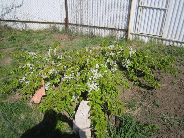 Выращивание черешни на Урале – посадка и уход за культурой