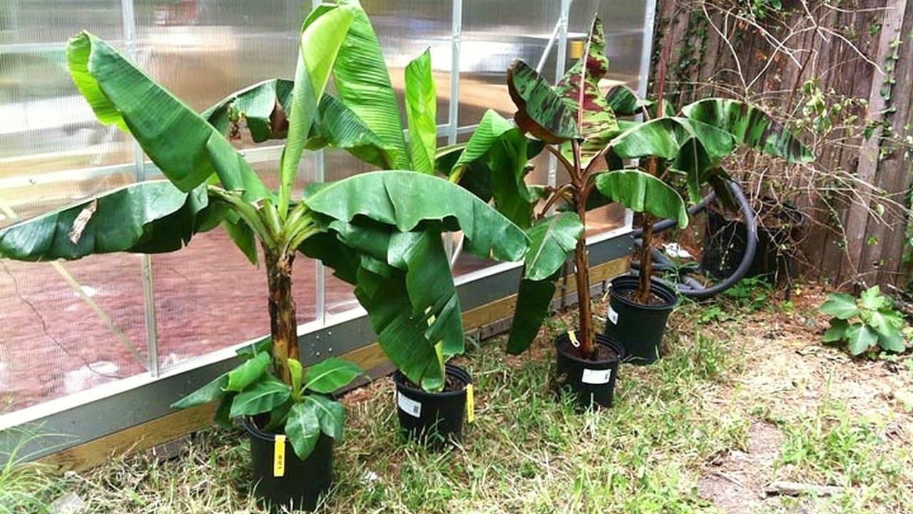 Банановая пальма: уход в домашних условиях. советы для начинающих