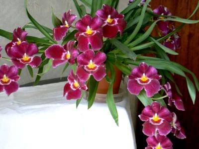 Мильтония: уход в домашних условиях за роскошной орхидеей