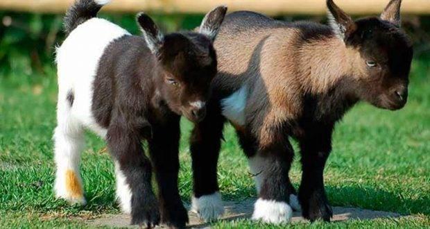Все про камерунских коз: описание породы, производительность и содержание