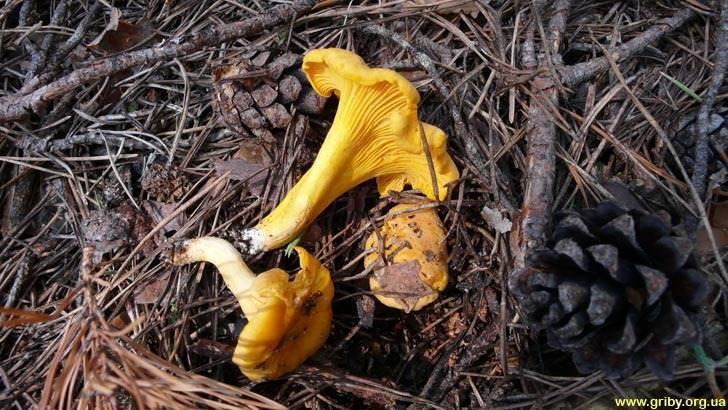 Гриб лисичка обыкновенная: описание, где растет, как собирать