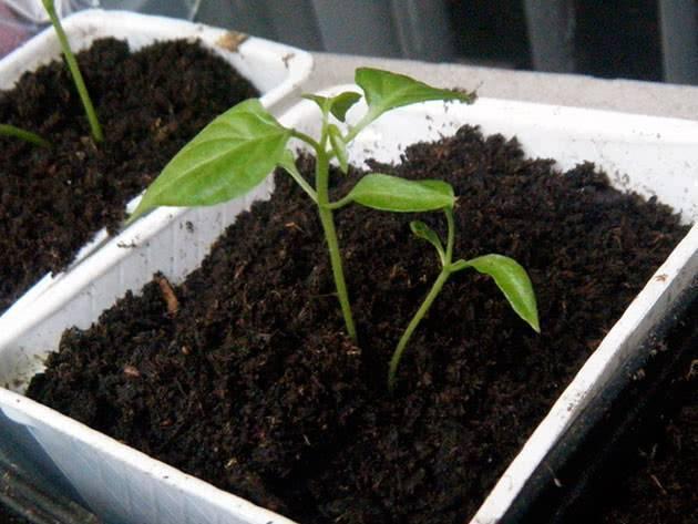 Выращивание рассады перца: когда и как сажать перец в домашних условиях