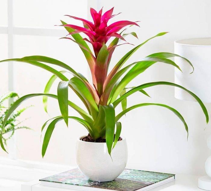 Цветок Гузмания: уход в домашних условиях, пересадка деток