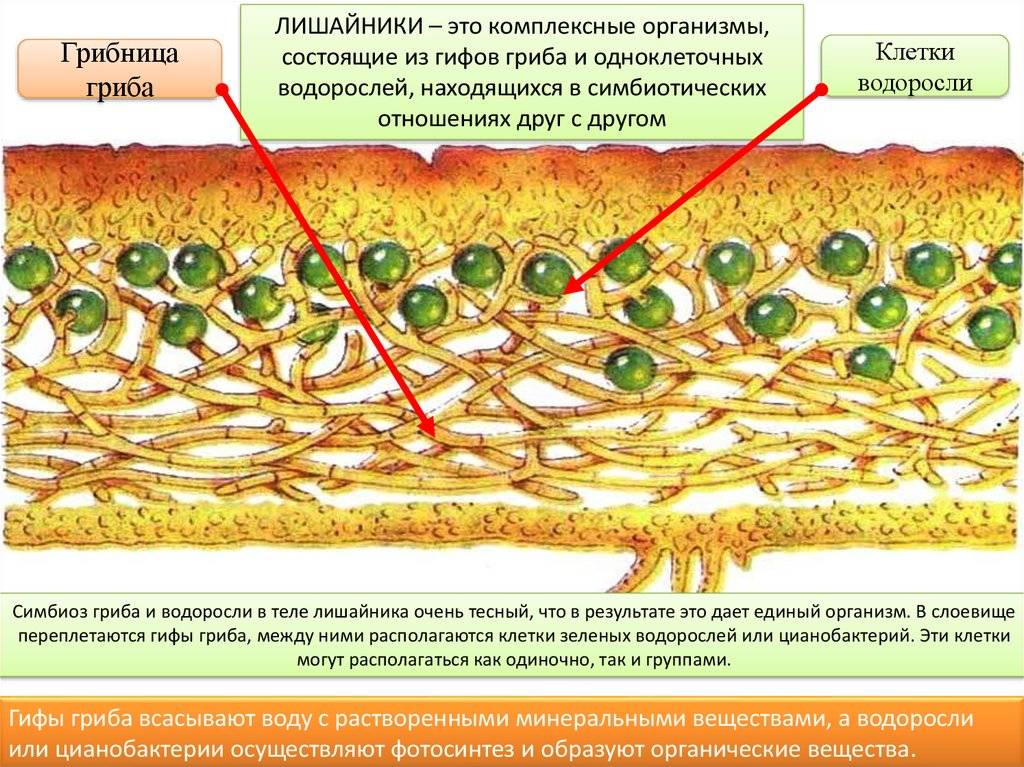 Симбиоз грибов и растений: названия, примеры