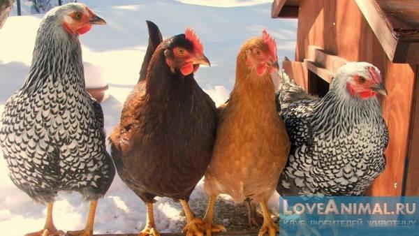 Породы кур несушек - названия и фото (каталог)