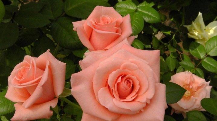 Топ-25 лучших сортов чайно-гибридных роз | отзывы