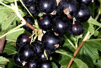 Смородина черный жемчуг описание сорта фото отзывы | мой сад и огород