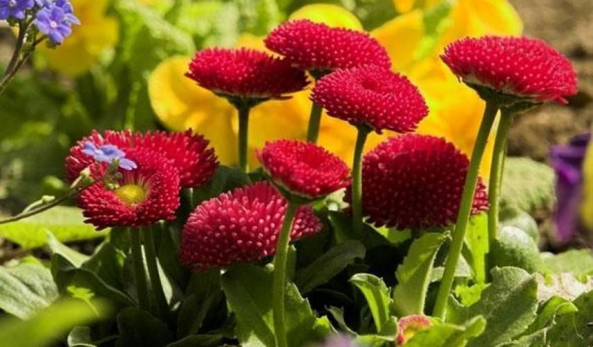 Хитрости садоводов - как вырастить маргаритки из семян - мегарод
