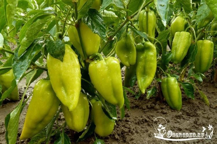 Перец болгарский - семена: лучшие сорта для открытого грунта (отзывы)