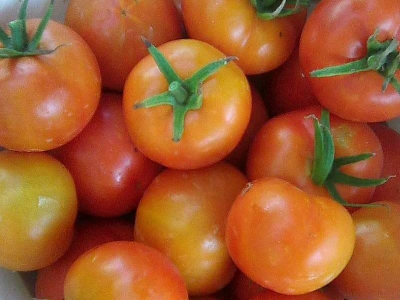 Самые скороспелые сорта томатов для теплиц с наилучшими показателями