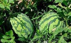 Посадка и выращивание арбузов в сибири в открытом грунте и в теплице, видео
