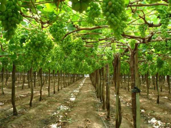 Шпалера для винограда своими руками: чертежи, фото, видео