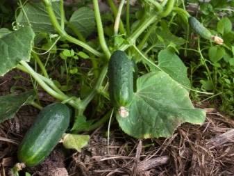 Выращивание и уход за огурцами в открытом грунте от посадки до урожая