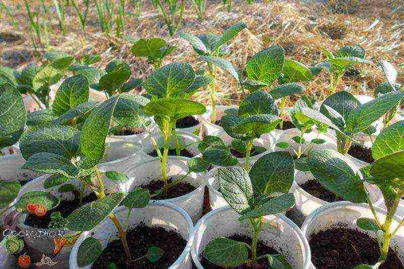 Выращивание картофеля из семян в домашних условиях