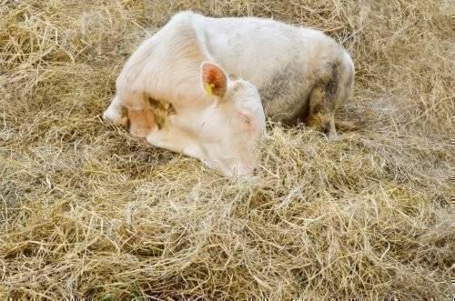 Болезни коров: основные симптомы, их описание, варианты лечения и профилактика заболеваний (110 фото + видео)