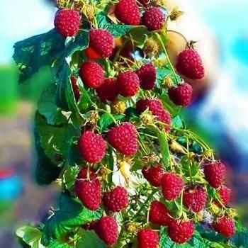 Сорт малины херитейдж (heritage) - про сорта