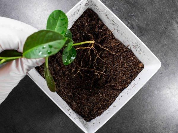 Земля для лимона: какая почва нужна, состав для посадки в домашних условиях