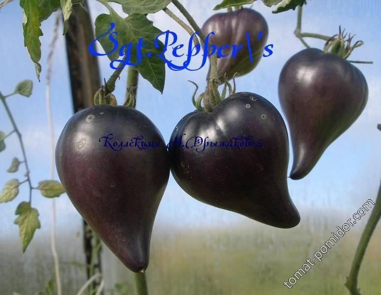 Бравый сержант пеппер — оригинальный томат, его описание и отзывы о выращивании